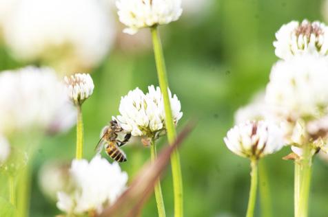 シロツメグサとミツバチ