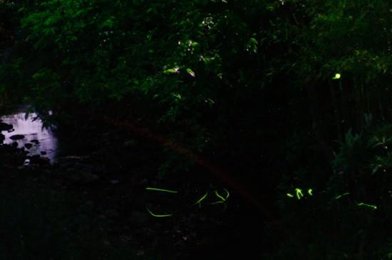 淡河のホタル