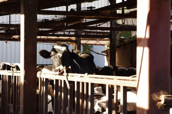村上牧場の牛