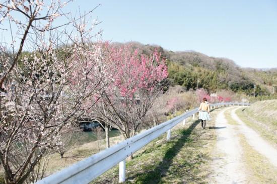 淡河の梅の並木道