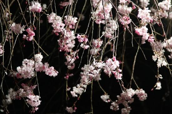 cott事務所前の桜