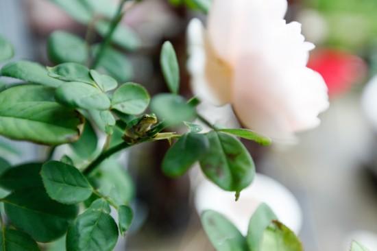 ばらの花とかえる